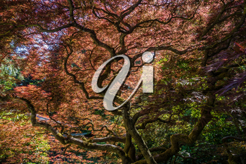 Light from above shines through leaves of a Japanese Maple tree creating and abastract image.