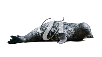 Harbor Seal with black spots on white background