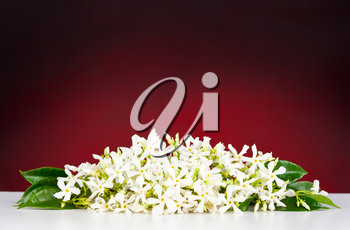 Jasmine flowers on white table and red background