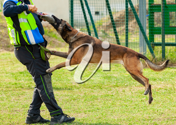 Training dog bites an object in the hands of the trainer.