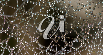 Dew drops  on a spider web. Integral Natural Reserve of Mencafete. Frontera. El Hierro. Canary Islands. Spain.
